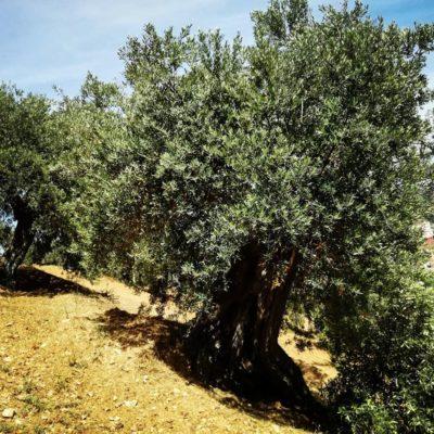 calabria, corigliano, azienda agricola, olio evo, olio di oliva, mandarini, agrumi